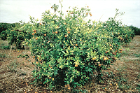Figure 16. Citrus variegated chlorosis disease. (Courtesy M.J.G. Beretta)