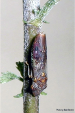Figure 17. Homalodisca coagulata, leafhopper vector of Xylella fastidiosa. (Courtesy B. Bextine)
