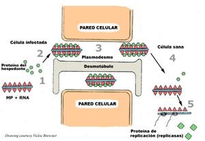 Introducción A Los Virus Vegetales El Enemigo Invisible