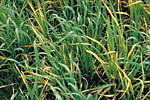 Figure 3. Yellowing symptoms of BYD on barley. (Courtesy P.A. Burnett)