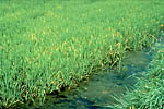 Figure 7. Yellowing symptoms of BYD on rice. (Courtesy R.J. Sward)