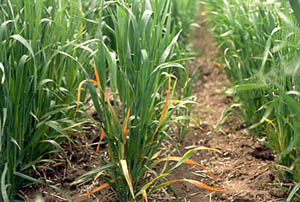 Like many plant diseases that are caused by viruses, barley yellow dwarf (BYD) is named for an economically important host (barl