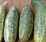 Figure 2. Misshapen and mottled cucumber fruit due to Cucumber mosaic virus infection (Courtesy T.A. Zitter).