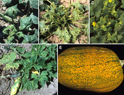 Figure 3 A-E. CMV infection of cucurbits 3A. Severe epinasty in summer squash. 3B. Stunted and malformed leaves and fruit surfac