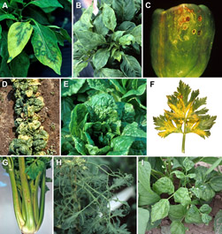 Figure 4 A-I. CMV symptoms on non-cucurbit crops 4A. Oak leaf and ringspot patterns on pepper. 4B. Malformed, dull light green l