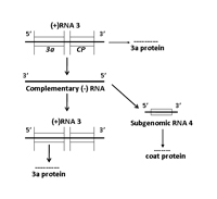 Figure 7c. Replication of RNA 3 leading to the production of the 3a protein and the subgenomic RNA 4 which encodes the coat prot
