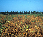 Figure 8. Tomato field in southern Italy infected with CMV and a satellite RNA. (Courtesy D. Gallitelli)
