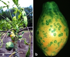 Figure 1.  Symptoms of PRSV. (a) affected papaya tree and (b) ringspot on papaya fruit.  (Courtesy of S. Ferreira, copyright-free)
