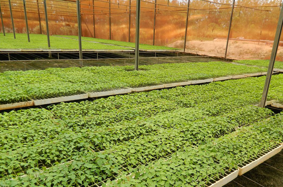 An agricultural nursery in the state of Ceará producing good quality virus-free papaya plantlets (Carica papaya).