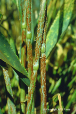 Figure 4. Stem rust on barley. caused by Puccinia graminis. (Courtesy B.Steffenson)