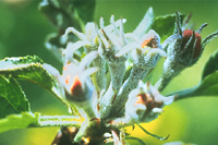 Figure 5. Powdery mildew on apple blossom cluster caused by Podospaera leucotricha . (Courtesy H.D. Shew and T.A. Melton)