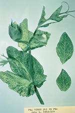 Figure 8. Pea infected with Red clover vein mosaic virus  exhibiting vein chlorosis and banding. (Courtesy R. O. Hampton)