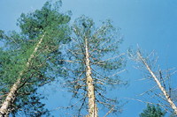 Figure 24. Crown symptoms caused by laminated root rot of Douglas-fir. (Courtesy W. G. Thies)