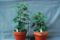 Figure 25. Healthy 'Mandalay' chrysanthemum (left) and plant infected with Fusarium oxysporum f. sp. chrysanthemi (right) which exhibits stunting without other observable symptoms. (Courtesy Penn State Univ.)