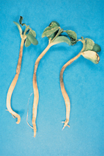 Figure 27. Soybean seedlings exhibiting symptoms of Pythium damping-off. Note thinning and browning of stem growth near the soil line. (Courtesy X. M. Yang)