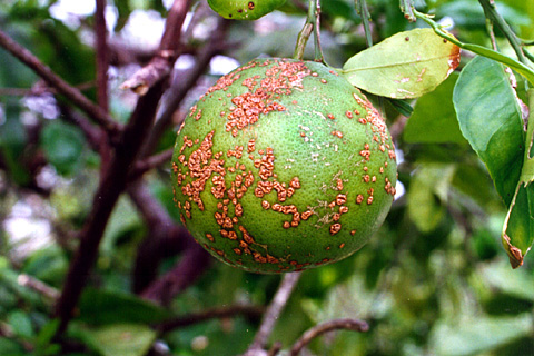 Citrus canker symptoms on citrus fruit courtesy of APS